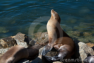 California sea lion in blue harbor