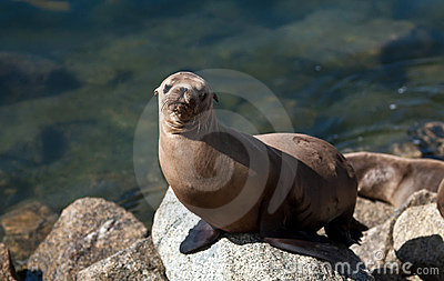California sea lion in harbor