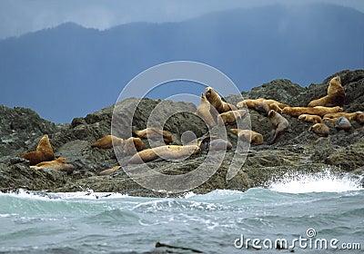 California Sea Lions - Clayoquot Sound