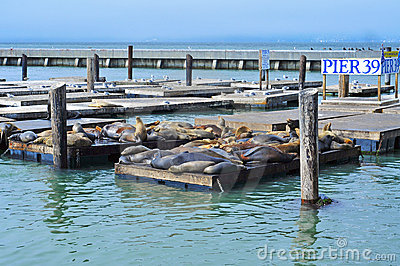 California sea lions on Pier 39