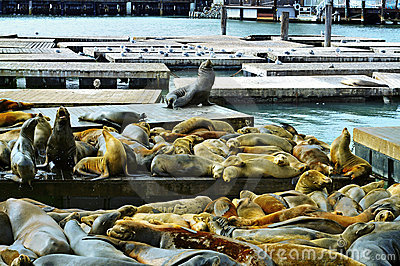 California sea lions on Pier 39 in San Francisco