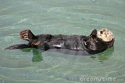 The California Sea Otter