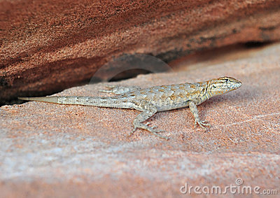 California Side Blotched lizard,Nevada,United stat