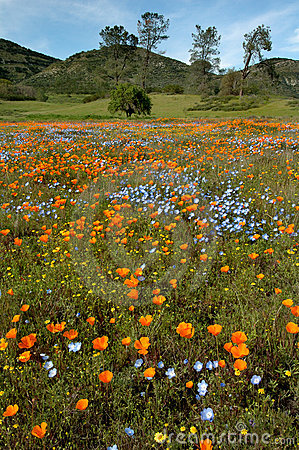 Free California Spring Wildflowers And Oak Woodland Stock Photography - 639992