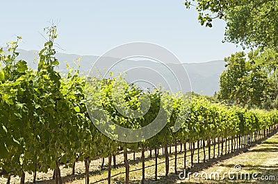 California sun-soaked vineyard