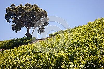 California Vineyard & Winery