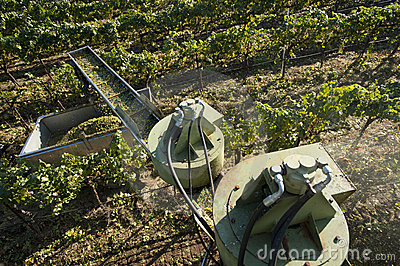 California wine grape harvest