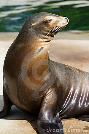 Free Californian Sea Lion Stock Photos - 20019813