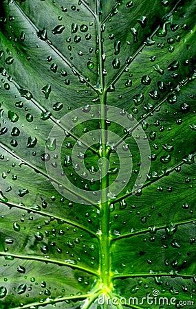 Calla покидает waterdrops лилии