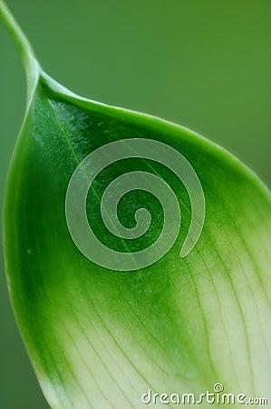 Calla Leaf