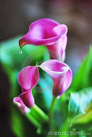 Free Calla Lilies Stock Photography - 8482472