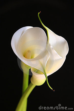 Free Calla Lilies In Love Stock Images - 249524