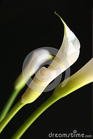 A calla lilly