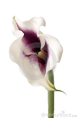 Calla Lilly Fotografia Stock - Immagine: 4155542