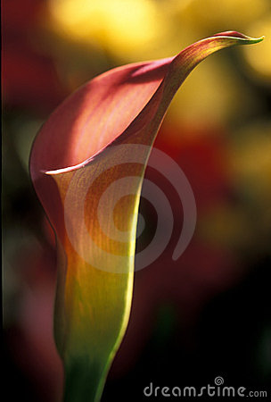 Calla Lilly one