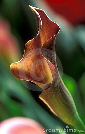 Calla Lilly three