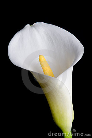 Free Calla Lily Stock Images - 2461604