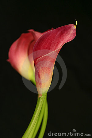 Free Calla Lily Flower 033m Stock Photography - 1287442