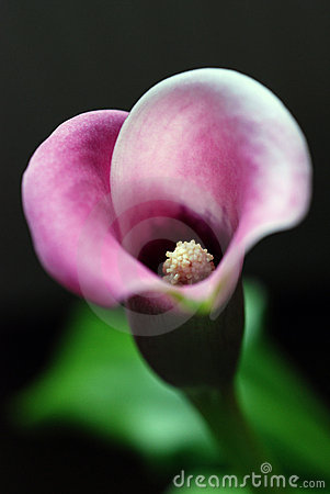 Free Calla Lily Flower Royalty Free Stock Images - 13808659