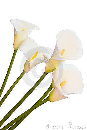 Calla lily isolated
