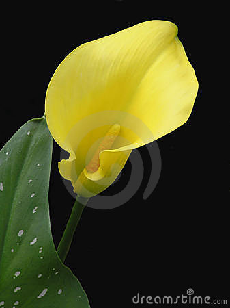 Free Calla Lily Isolated Stock Photography - 1048332