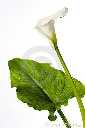 Calla lily with large leaf