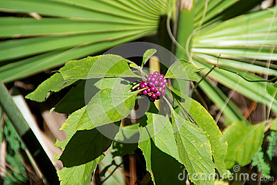 Callicarpa Beauty berry plant