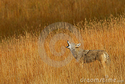 Calling Coyote