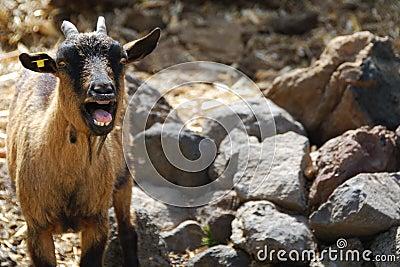 Calling goat