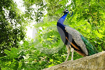 Calling peacock