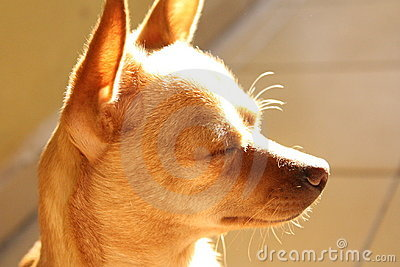 A calm chihuahua with closed eyes