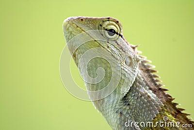 Calotes Indian lizard