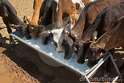 Calves drinking cows milk