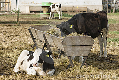 Calves Holando-Argentino and Feeding Trough