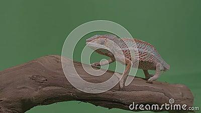 Camaleão colorido bonito que senta-se em um ramo que estuda a tela do verde do ambiente no fundo - video estoque