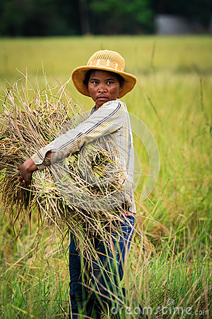 Cambodian woman harvesting rice in field Editorial Image