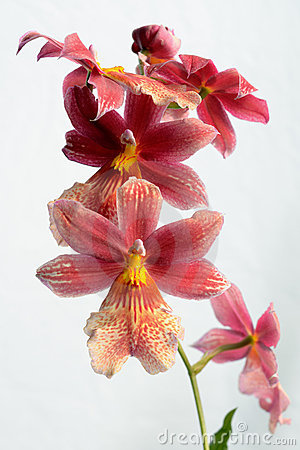 Cambria orchid blooms