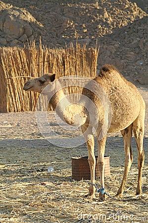 Free Camel Royalty Free Stock Photos - 12827658