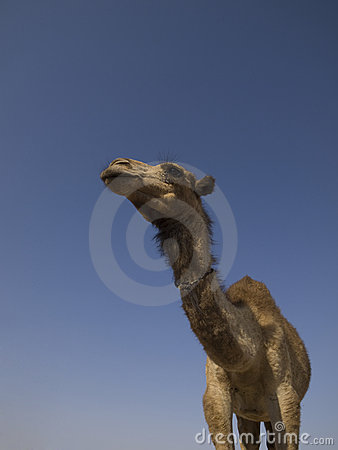 Camel Stock Photo - Image: 17876070