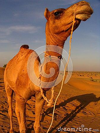 Free Camel Stock Photo - 197620