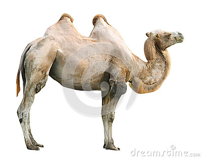The Camel.