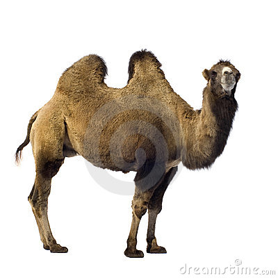 Free Camel Royalty Free Stock Photos - 3343598