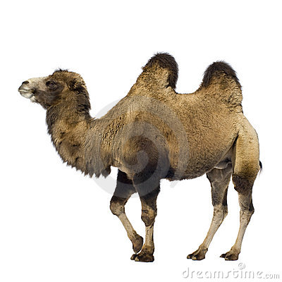 Free Camel Stock Photography - 3346292