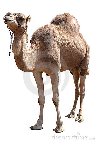 Free Camel Stock Photo - 6645000