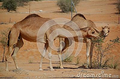 Camel, Arabian (Camelus dromedarius)