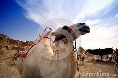 Camel on the background of the blue sky,Xinjiang