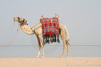 Camel on beach. Egypt