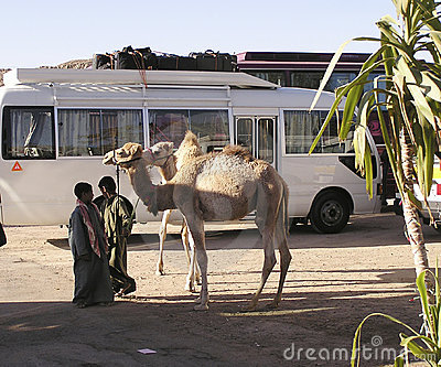 Camel and bus , Egypt, Africa