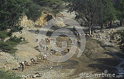 Camel Caravan 1