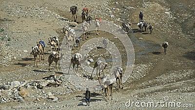 Camel Caravan 3 Editorial Photography